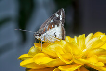 Grey And White Delaware Skipper Resting On The Zinnia Plant