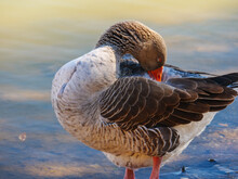 Greylag Goose Preens Its Feathers On The Shore