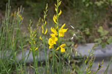Selective Focus Shot Of Spanish Gorse Yellow Flowers In The Field