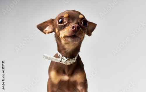 Fotografiet Purebred pet chihuahua dog nature mammals pedigree
