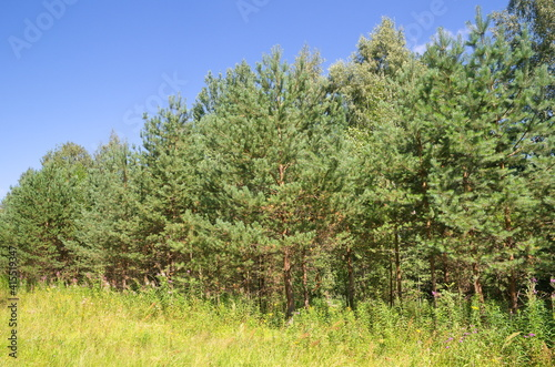 The nature of Seliger. Summer landscape with young pine trees © koromelena