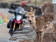 冬毛の奈良公園の鹿とバイクの風景