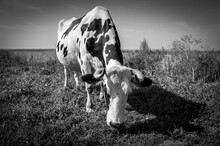 Obedient Grazing Cow In The Town-island Of Sviyazhsk, Tatarstan. Black And White