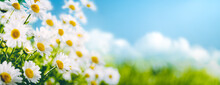 Field Of Daisy Flowers In Springtime