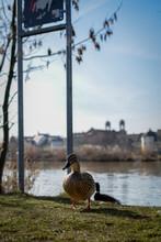 Duck On The Bridge