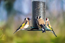 Three European Goldfinch Or Simply The Goldfinch On A Bird Feeder With Nyjer Seeds