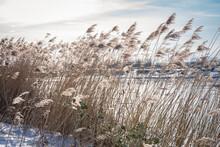 Reeds Along The Waterside In A Winter Landscape