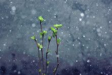 Small Branches With Buds Leaves / Spring Background, Concept Freshness Botany Youth
