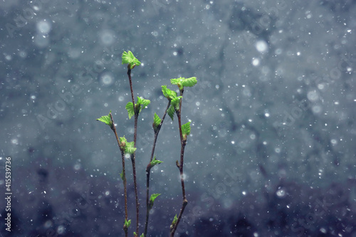 Fototapeta small branches with buds leaves / spring background, concept freshness botany youth obraz