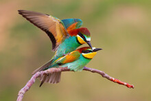 Two European Bee-eaters, Merops Apiaster, Copulating In Mating Season In Spring Nature. Concept Of Love Between Birds In Wilderness. Exotic Looking Animals With Colorful Feathers Reproducing.