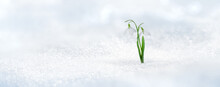Spring Twin Snowdrop Rising From Fresh Snow