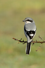 Southern Flock Shrike With The First Light Of Day In Its Breeding Territory At Its Usual Perches