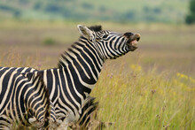 Zebra Equus Smiling And Laughing At Something Funny In The Veld In Pretoria At Rietvle Nature Reserve In South Africa