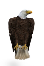 Bald Eagle Perched. 3d Illustration Isolated On White Background.