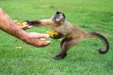 Capuchin Monkey Grabbing Food