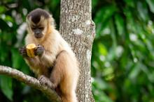 Capuchin Monkey In The Jungle Eating Banana