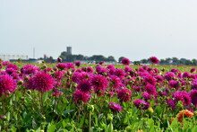 Deep Pink Dahlia Flowers In The Field In The Summer