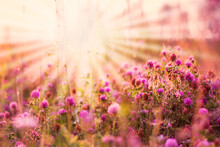 The Sun's Rays Shine Over The Picturesque Pink Clover Meadow. Wild Plants Bloom In The Early Sunny Morning. Sunlight In Nature