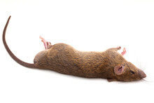 Dead Rat Isolated On White Background,