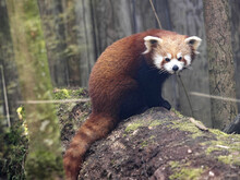 A Red Panda, Ailurus Fulgens, Sits On A Trunk And Observes Its Surroundings