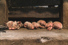 Baby Pigs Sleep Under A The Beam Of A Barn Door Muddy From Afternoon Play