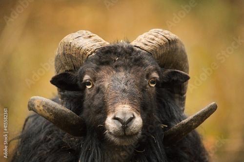 Fotografie, Obraz portrait of a big horn sheep