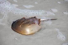 Horseshoe Crab In A Shallow Water Of Atlantic Ocean