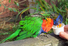 A Beautiful And Colorful Rainbow Lorikeet (Trichoglossus Haematodus) Sitting On A Beam And Being Fed Nectar From A Little Plastic Cup