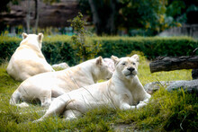 Female White Lion Lying Down On Grass In Zoo. Very Shallow Focus Point At Lion Face