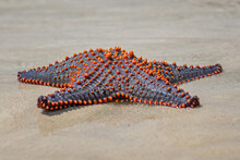Multicolored Knobbed Starfish - Pentaceraster Mammillatus, Beautiful Large Colored Seastar From African Reefs And Coasts, Zanzibar, Tanzania.