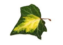Ivy Leaf, Hedera Helix Isolated White Background