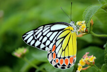 Common Jezebel Butterfly In The Garden