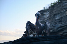 Pelicans In Silhouette On The The Rocky Shores Of The Galapagos