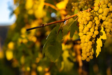 Wine Region Wachau At Wine Harvest Time In Austria