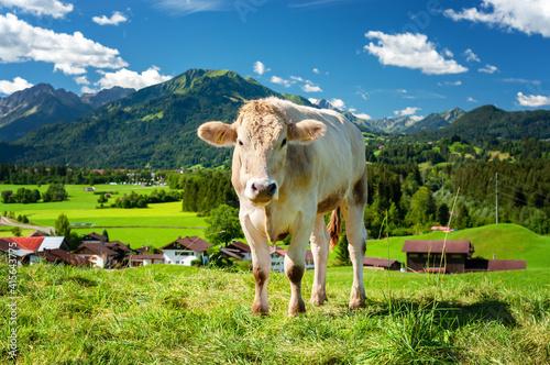 Fotografija Cow on pasture in the Alps, Bavaria Germany