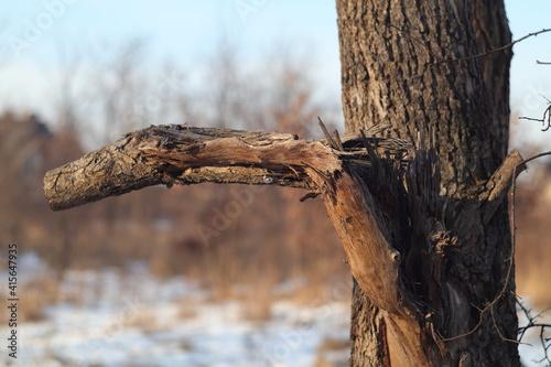 złamana gałąź drzewa - fototapety na wymiar
