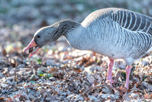 Grey Goose Eating Acorn