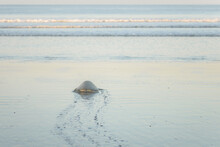Turtles Nesting During Sunrise At Ostional Beach In Costa Rica