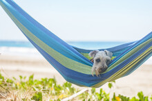 Schnauzer Dog Resting On A Hammock At The Beach