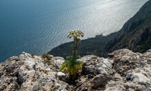 A Thick Stem Of A Plant With A Bud Of White Flowers Grows Out Of The Rock At The Edge Of The Cliff.