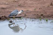 Beautiful White Black Bird Eating Frog In Mouth Beak Water Dam Lake