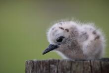 Baby Fairy Tern