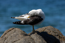 Pacific Gull Perched On A Rock At The Beach