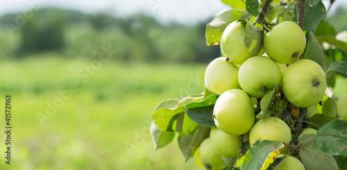 ripe apples on a tree in a garden. Apple tree © Nitr