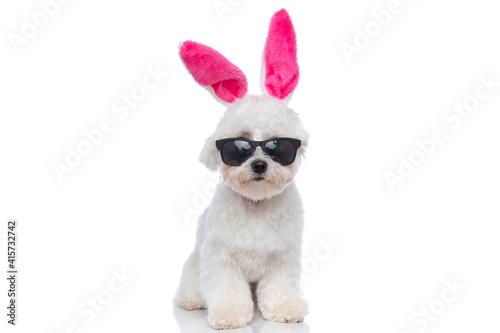 Fotografie, Obraz sweet bichon dog wearing pink bunny ears