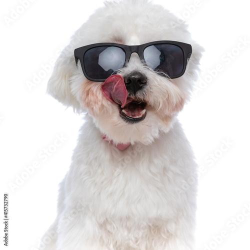 Fototapeta beautiful bichon dog licking his mouth and wearing sunglasses