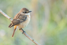 Eastern Stonechat Perching On A Perch