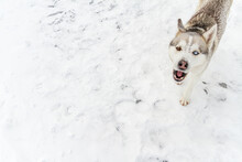 Young Siberian Husky Dog Runs And Has Fun In Deep Snow After A H