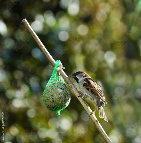 Fototapeta premium Sparrow on the food ball
