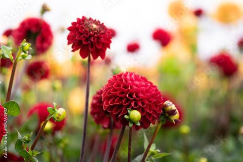 Billede på lærred detail of blooming red dahlias
